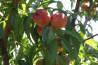 Nectarine Romania