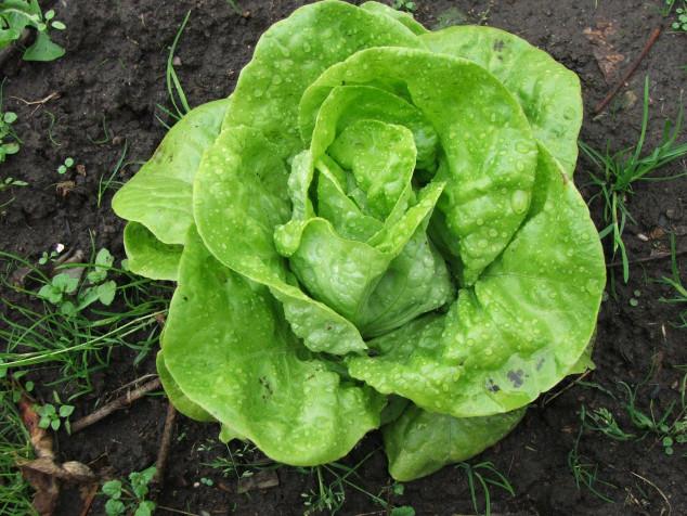 Salată verde Legume Fructe Martin