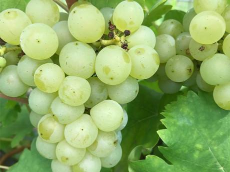 Struguri albi Eco Fruct Sultana