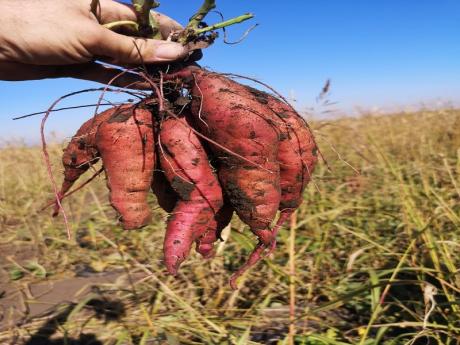 Cartofi dulci Bio